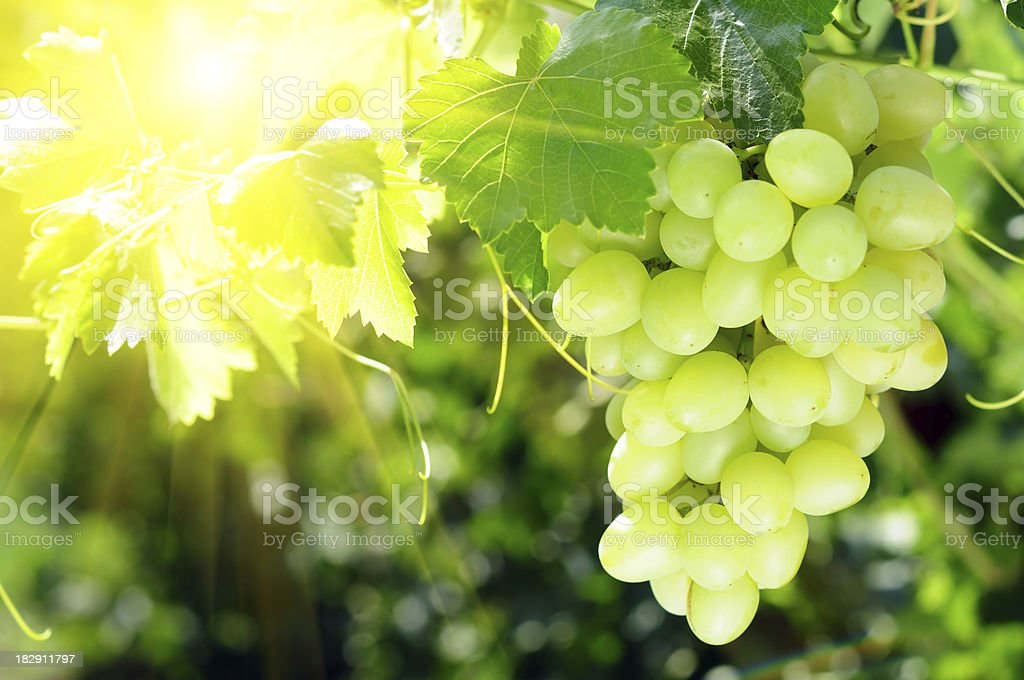 Grapes cluster on sunlight background stock photo