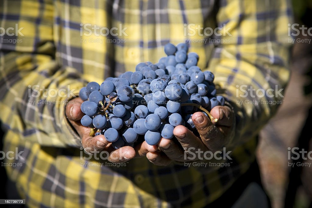 Grapes Cluster royalty-free stock photo