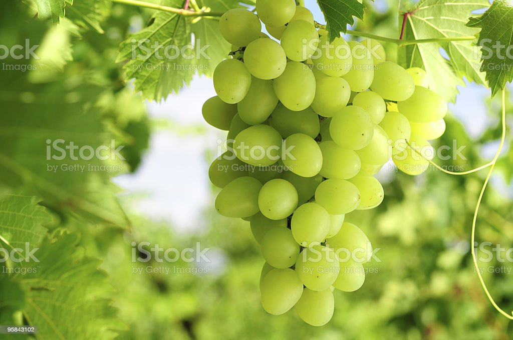 Grapes cluster stock photo