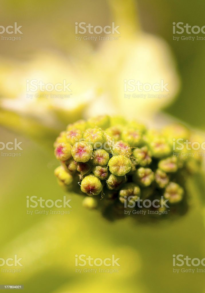 Grapes flower stock photo