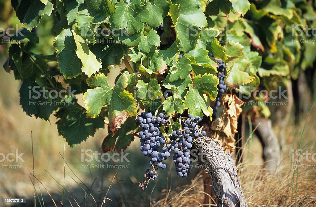 Grapes for Wine royalty-free stock photo