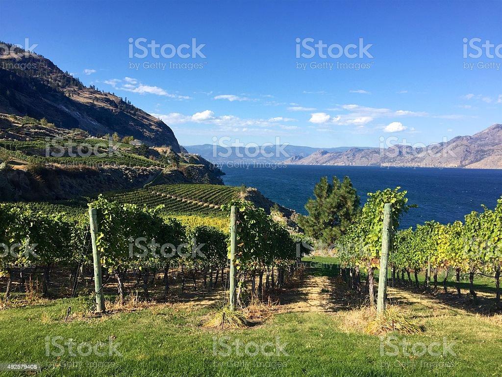 Grapes growing in British Columbia vineyard in autumn, Okanagan Lake stock photo