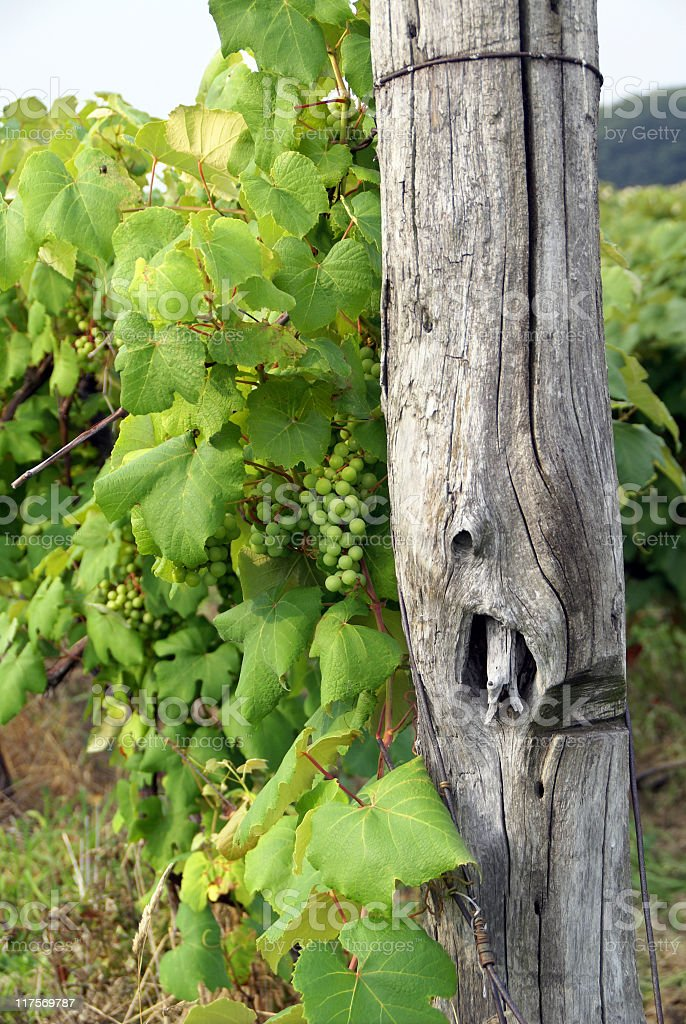 Grapes Growing in Vineyard royalty-free stock photo
