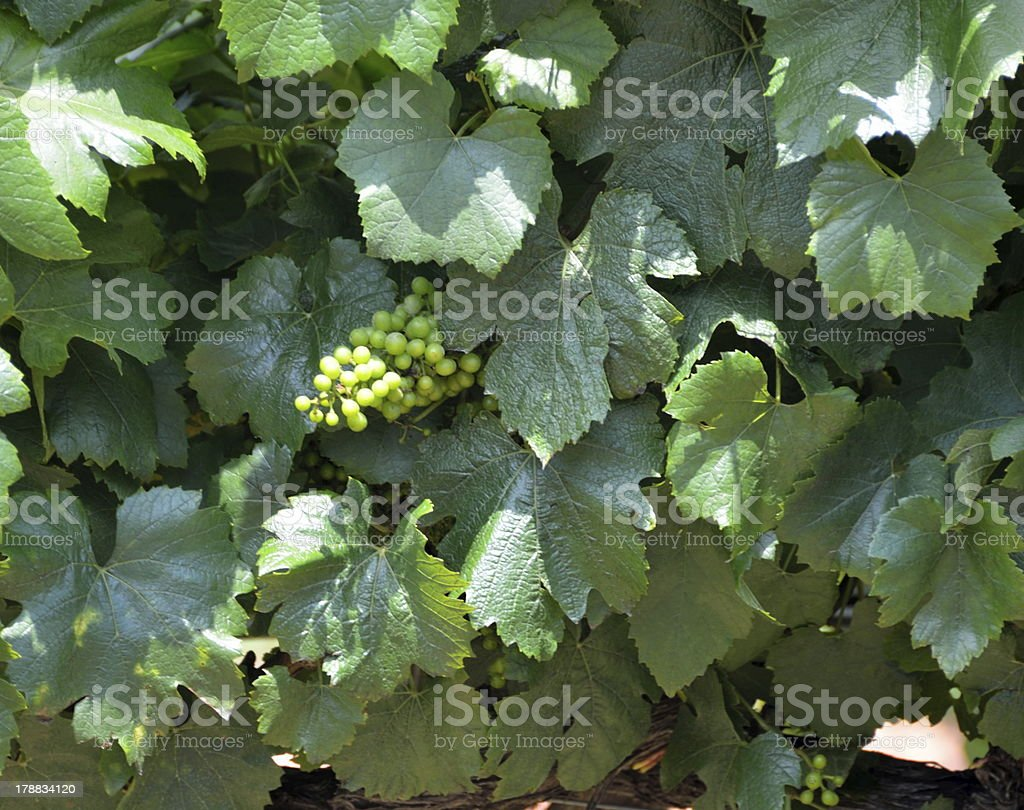 Grapes growing on a vine royalty-free stock photo
