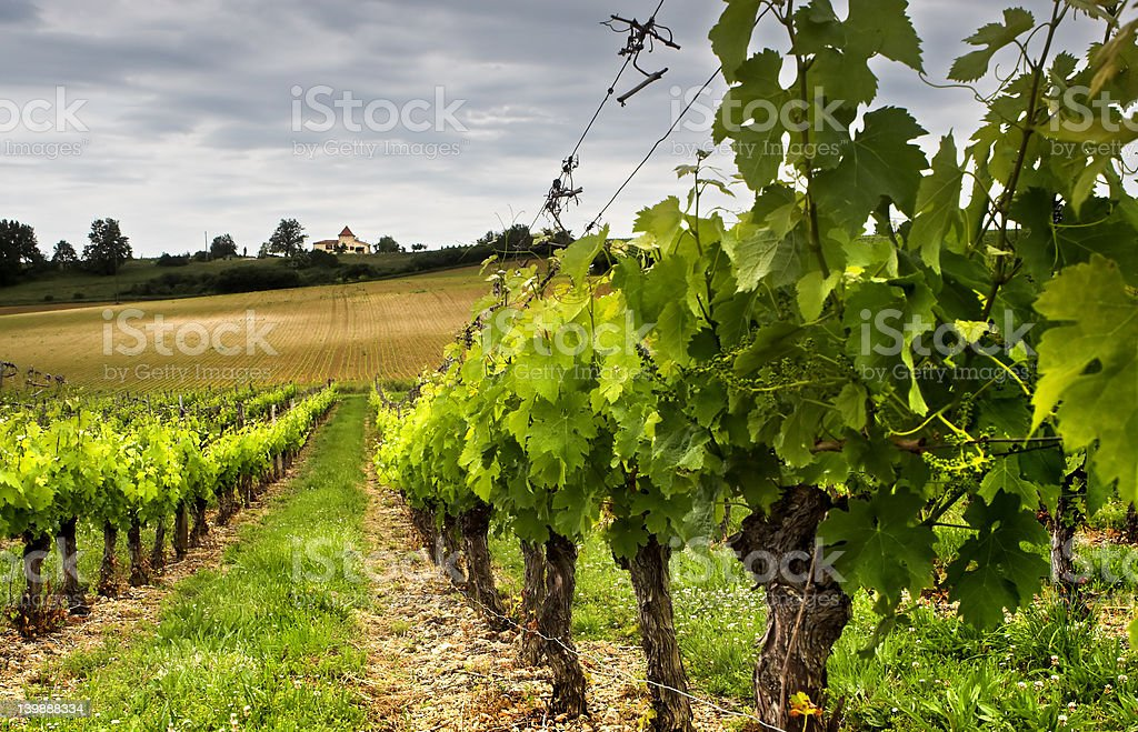 Grapes growing - Royalty-free Agricultural Field Stock Photo
