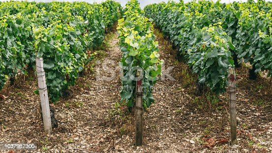 924487256 istock photo Grapes grows in rows in the field, France 1037987300