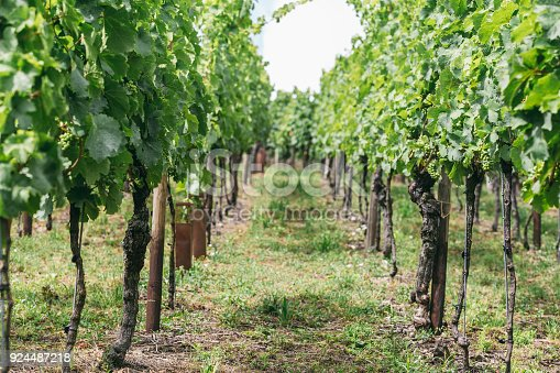 924487256 istock photo grapes grows in rows in the fields of Burgundy, winemaking business in France 924487218