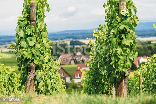 924487256 istock photo grapes grows in rows in the fields of Burgundy, winemaking business in France 924487258