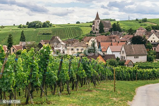 924487256 istock photo grapes grows in rows in the fields of Trimbach, winemaking business in France, fresh green background 924487256