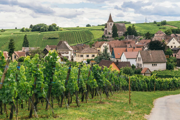 grapes grows in rows in the fields of Burgundy, winemaking business in France, fresh green background stock photo