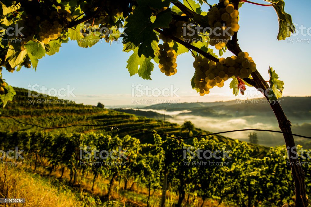 Grapes hanging from branch at vineyard stock photo