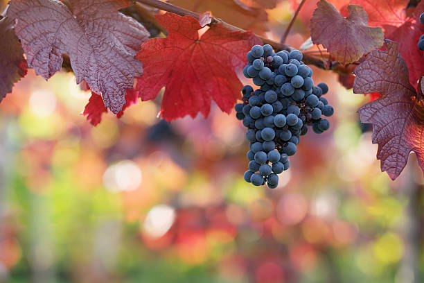 Grapes hanging on vine with red autumn leaves stock photo