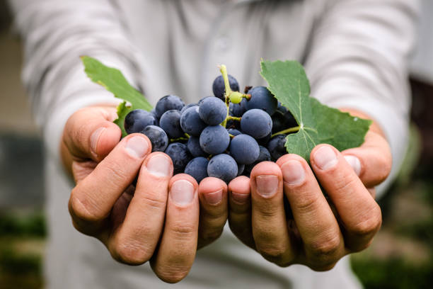 Récolte de raisins en automne - Photo