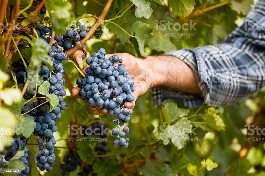 Grapes harvest in vineyard stock photo