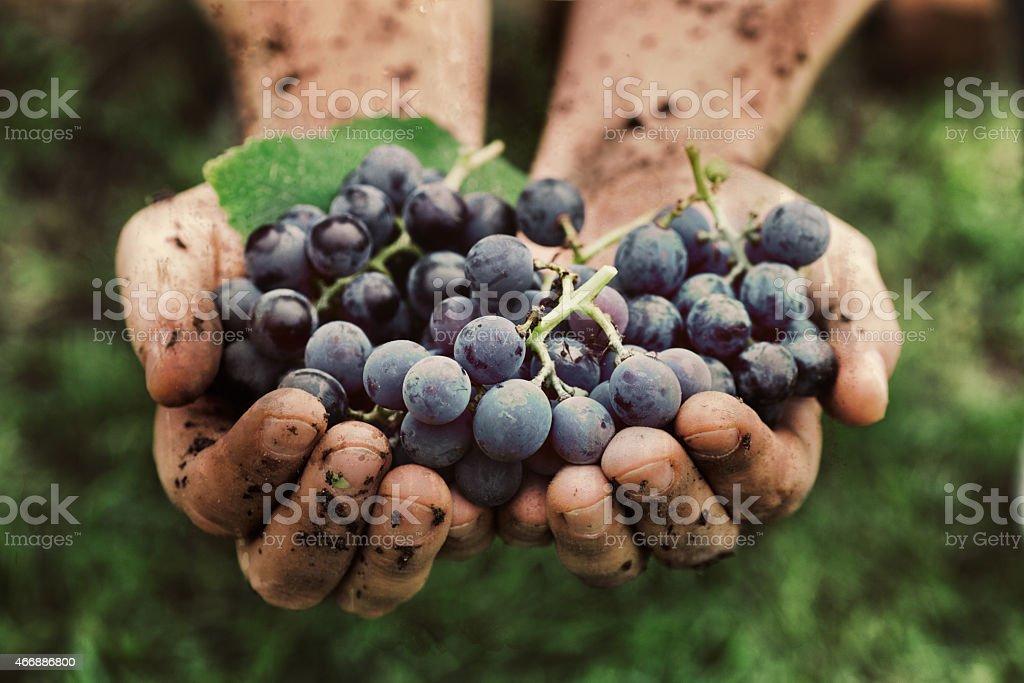Cosecha de uvas - foto de stock