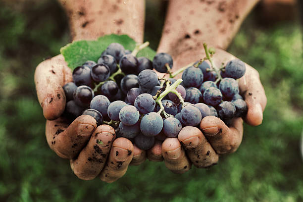 grapes harvest - organic stock pictures, royalty-free photos & images