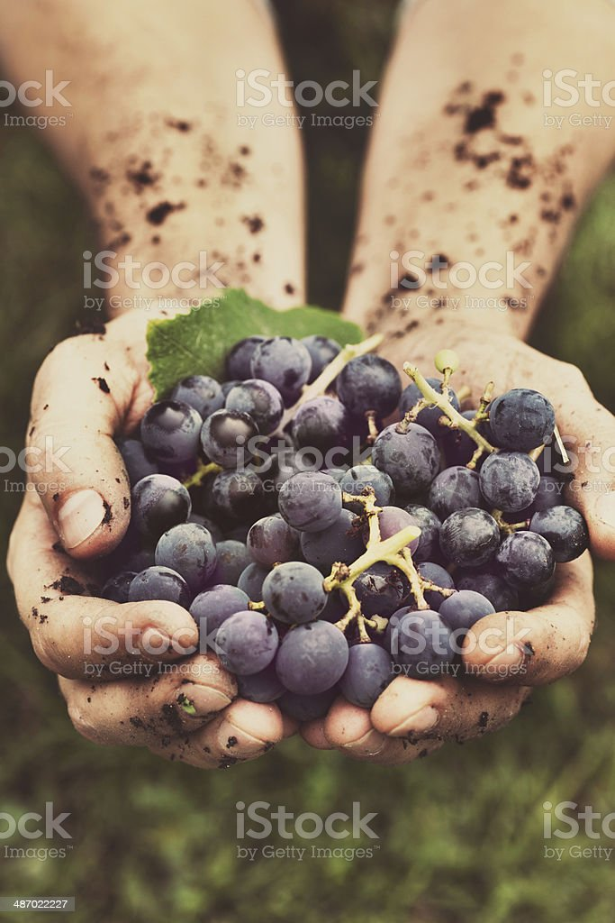 Grapes harvest stock photo