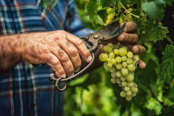 traubenernte und -abholung in italien - landwirtschaftlicher beruf stock-fotos und bilder
