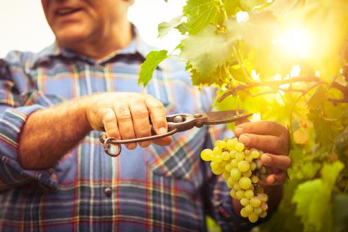Grapes Harvesting