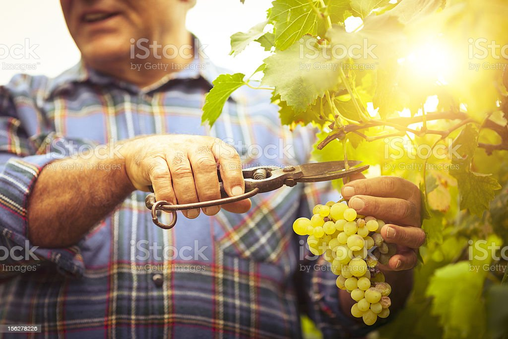 Grapes Harvesting stock photo