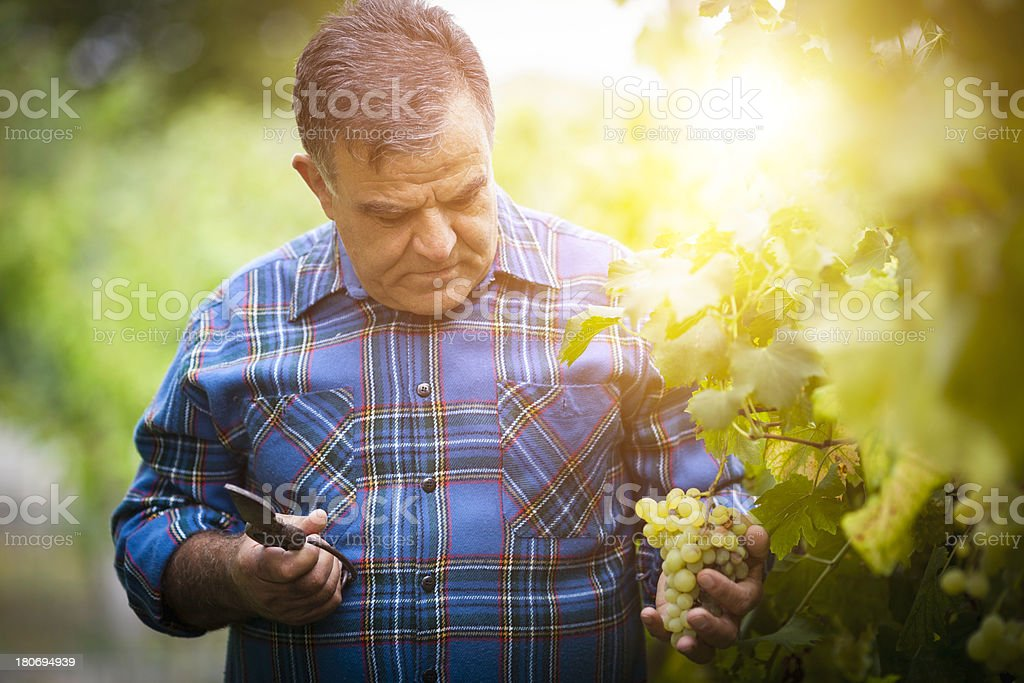 Grapes Harvesting royalty-free stock photo