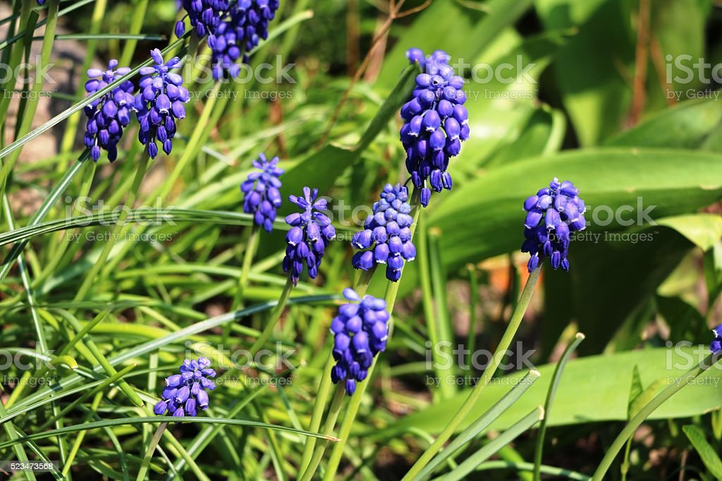 Grapes hyacinths in the garden in spring stock photo