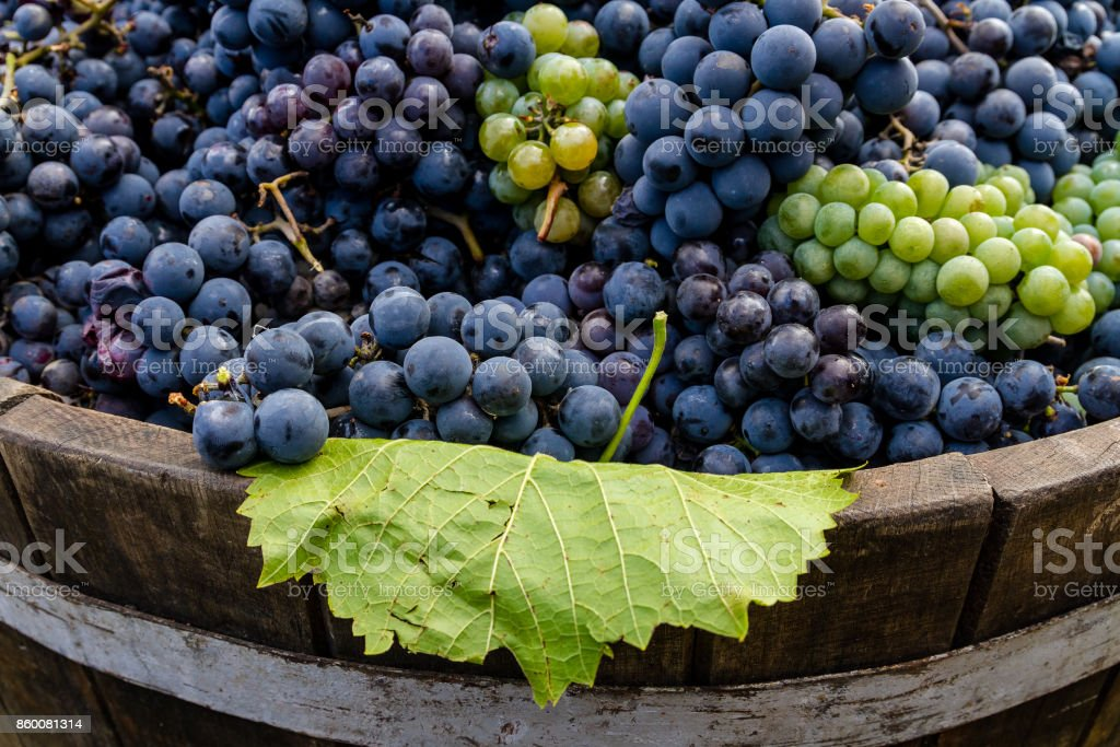Grapes in a barrel after harvesting stock photo