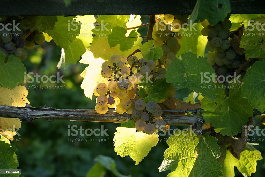 grapes in a vineyard 1 royalty-free stock photo