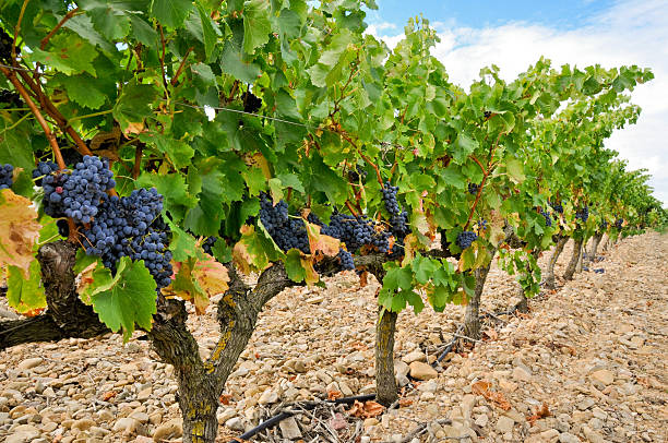 Grapes in a vineyard, La Rioja (Spain) stock photo