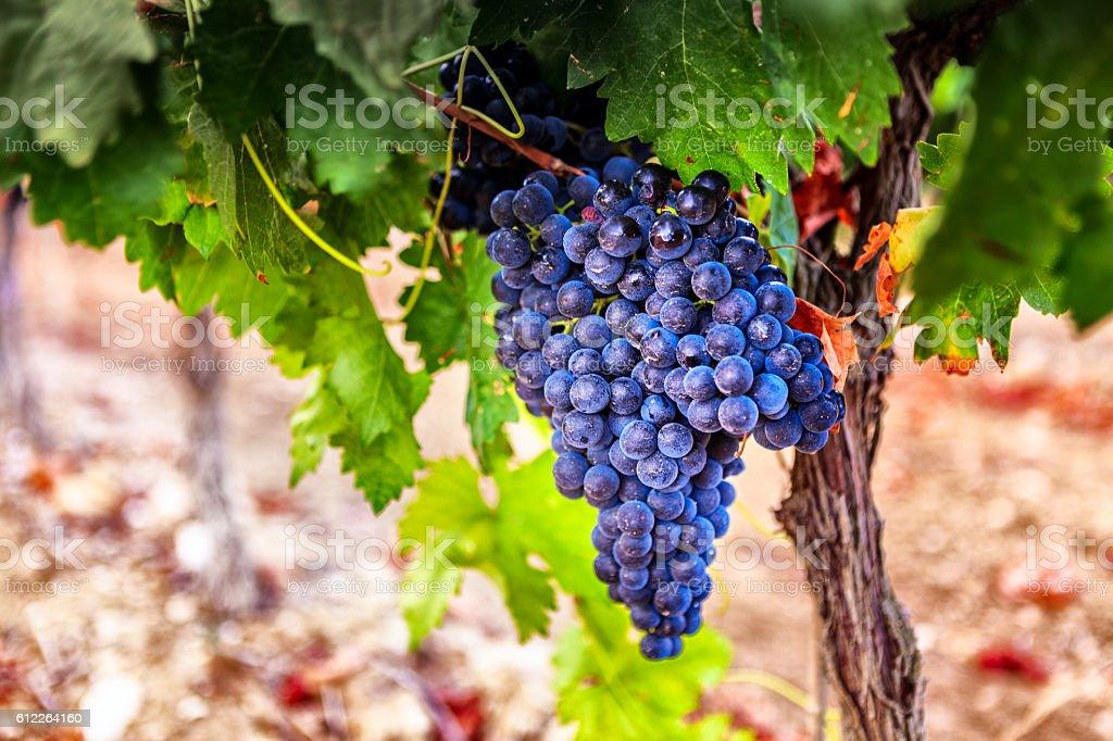 Grapes in a vineyard, La Rioja. Spain stock photo