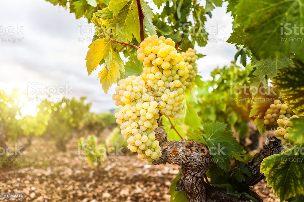 Grapes in a vineyard, La Rioja. Spain – Foto