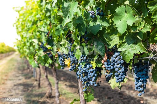 Bluish grapes on a raw in a wineyard