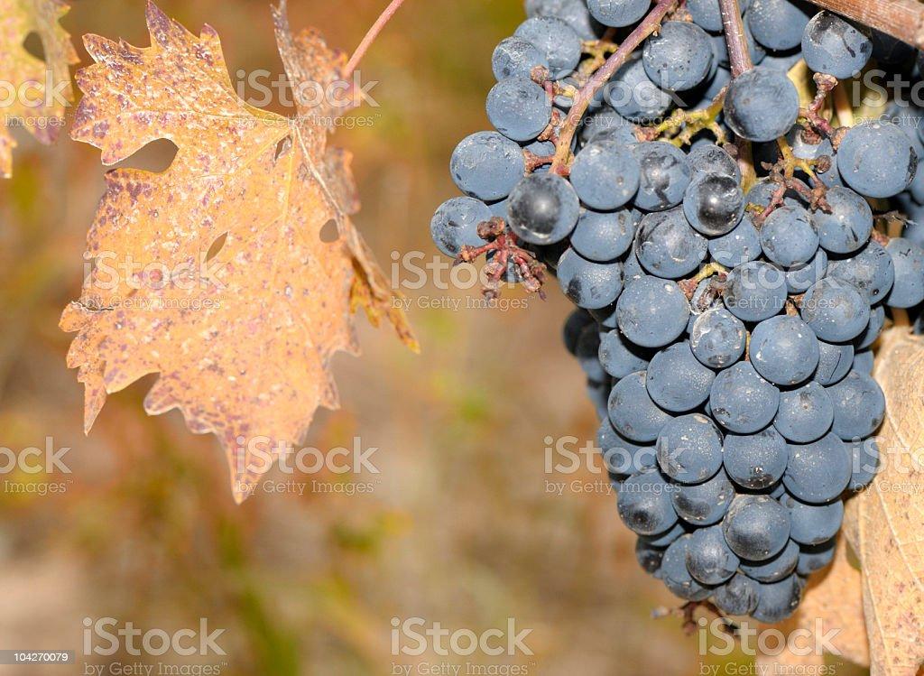 Trauben im Herbst – Foto