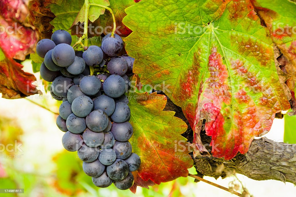 Grapes in autumn ready for harvesting stock photo