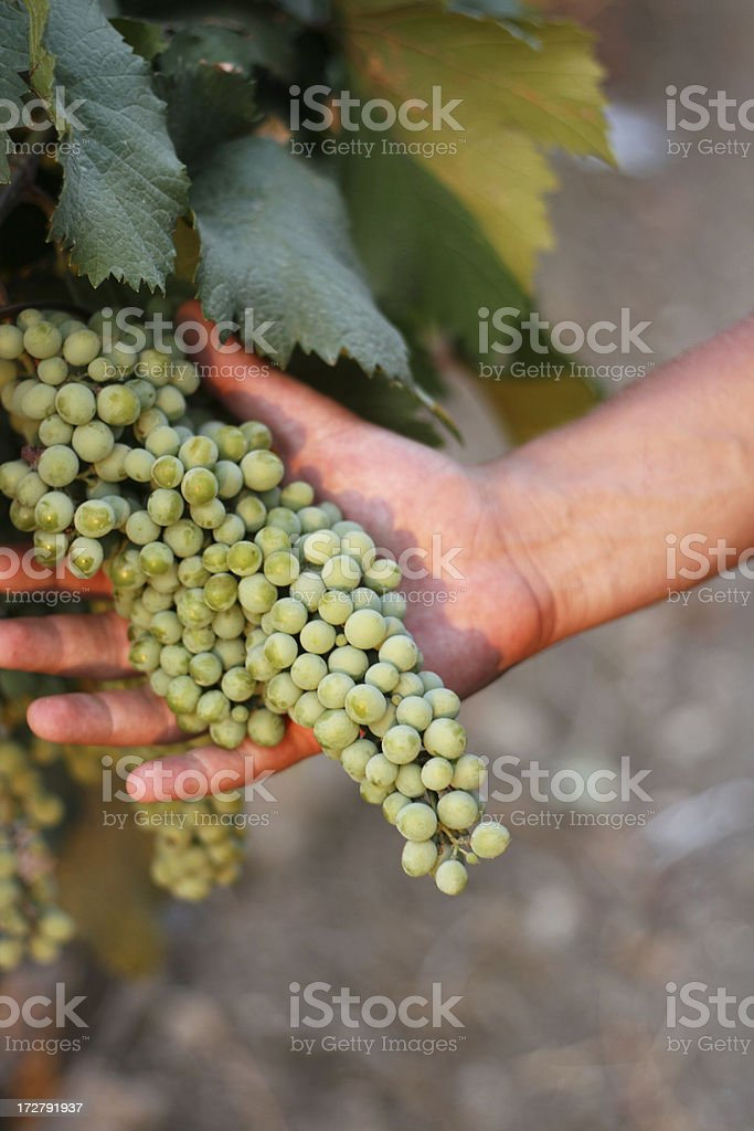 grapes in hand stock photo
