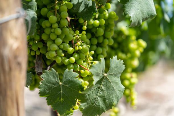 grapes in palmela, portugal - setubal imagens e fotografias de stock