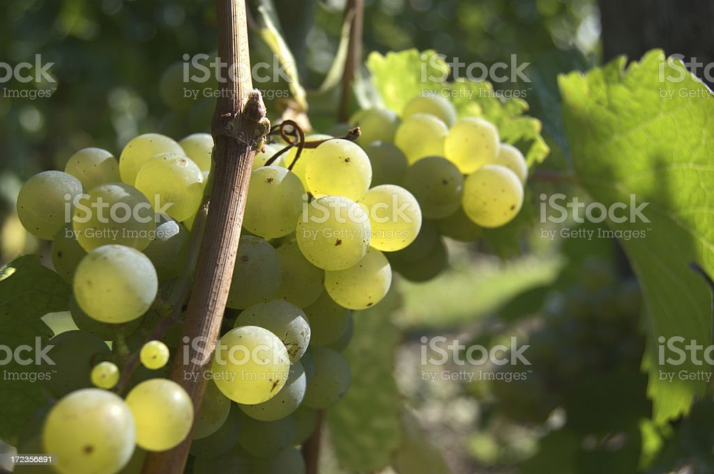 Grapes in september royalty-free stock photo