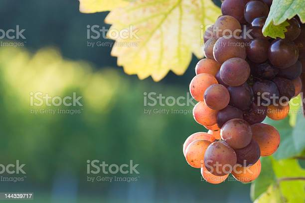 Grapes in the evening sun Grapes in the evening sun in a french vineyard Agriculture Stock Photo