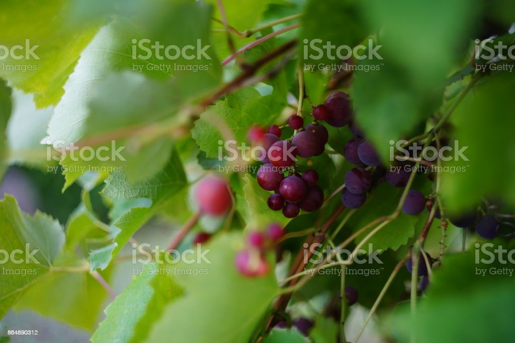 grapes in the garden stock photo