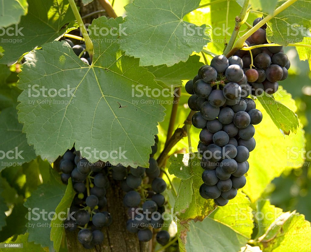 Grapes in the sun royalty-free stock photo