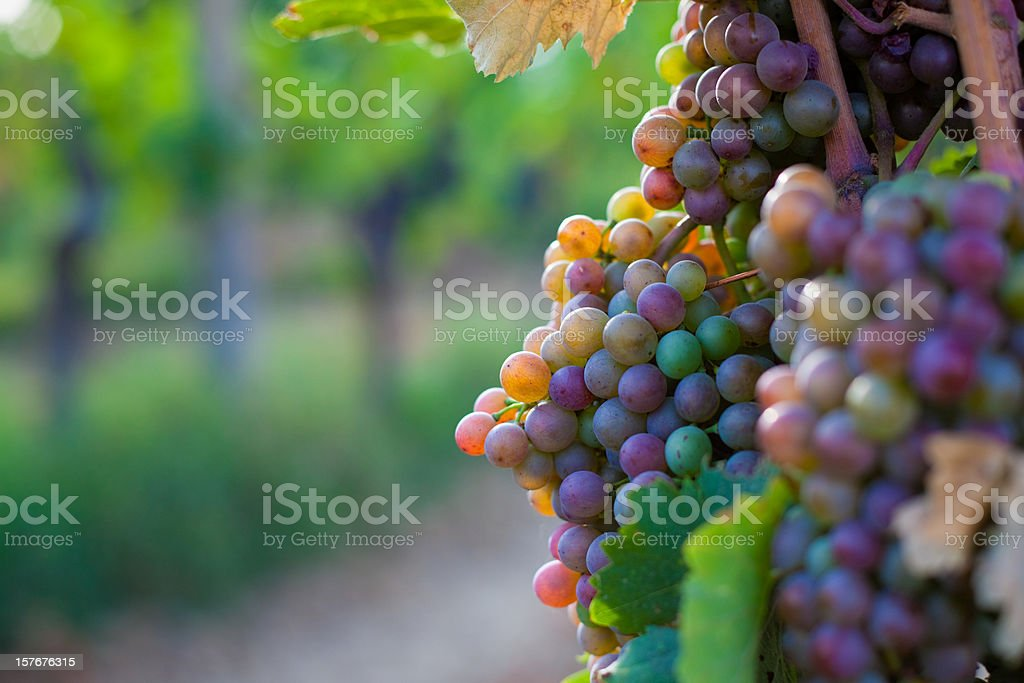 Grapes in the vineyard stock photo