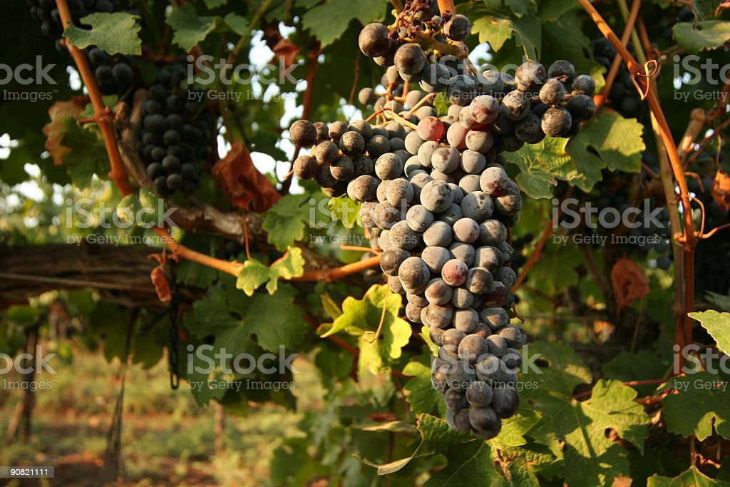 grapes in the vineyard royalty-free stock photo