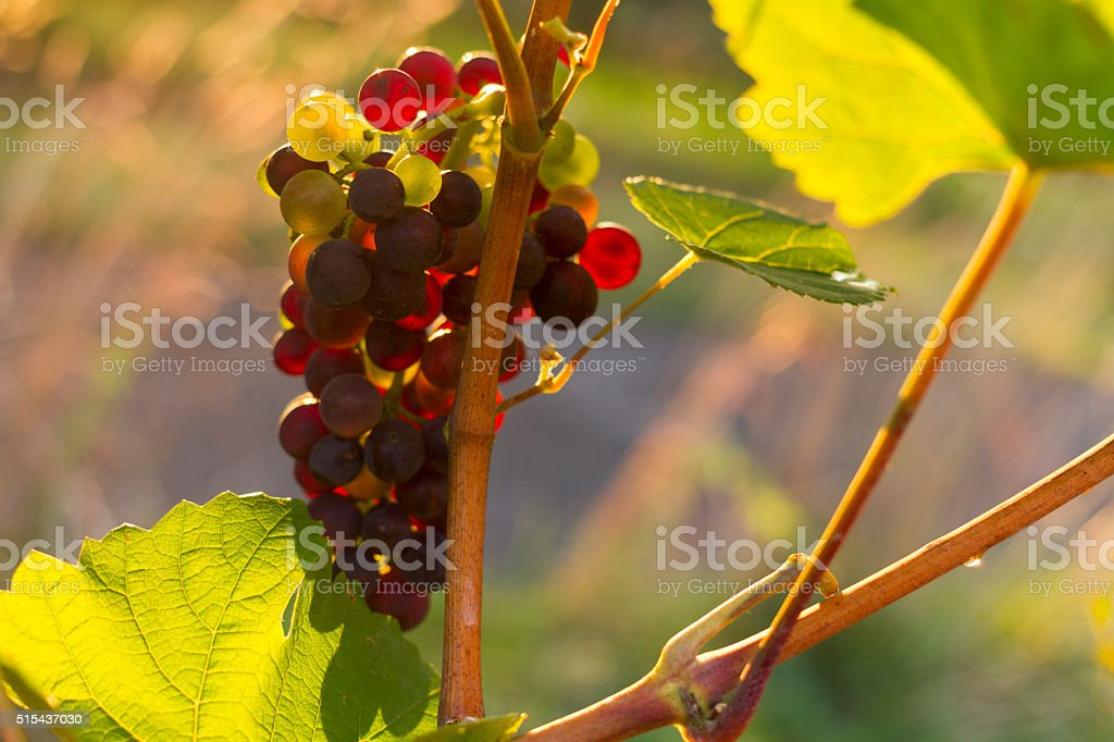 Grapes in vibrant light stock photo