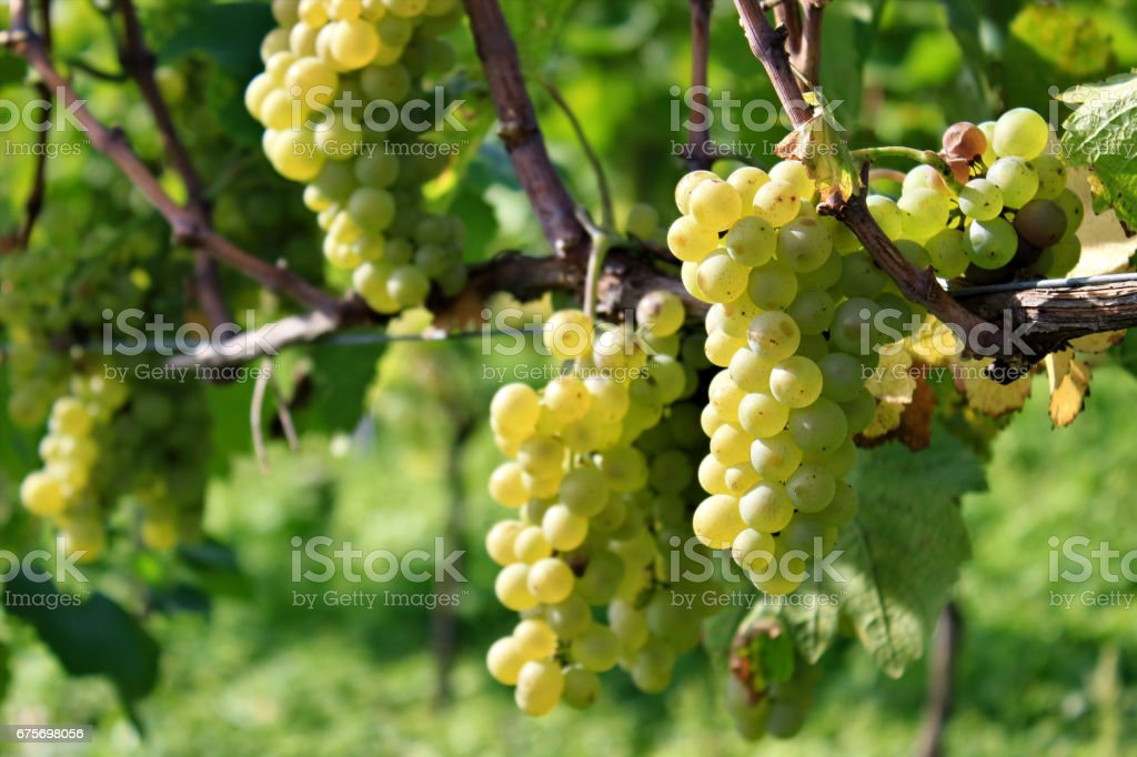 Grapes in Vineyard, Autumn, Suedbaden, Germany royalty-free stock photo