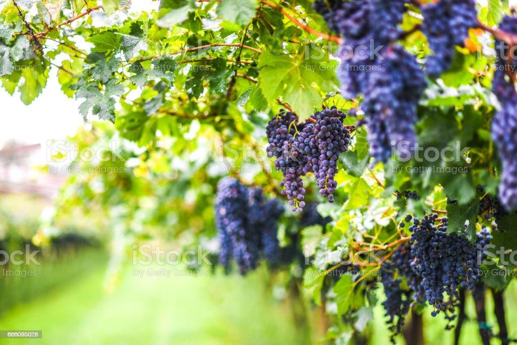 Grapes in vineyard Italy stock photo