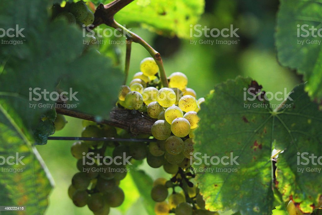 Uvas en viñedo stock photo