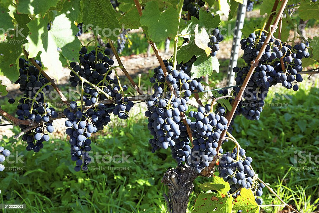 Grapes in Visperterminen, Switzerland - highest vineyards in Europe stock photo
