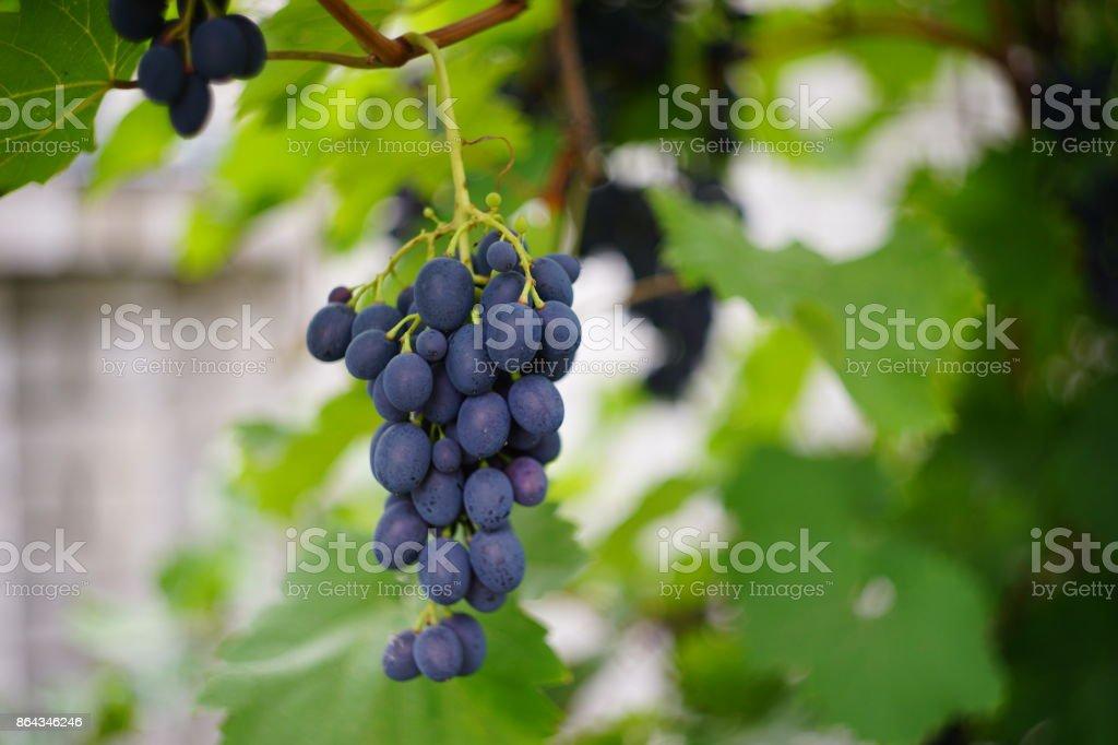 grapes nature stock photo