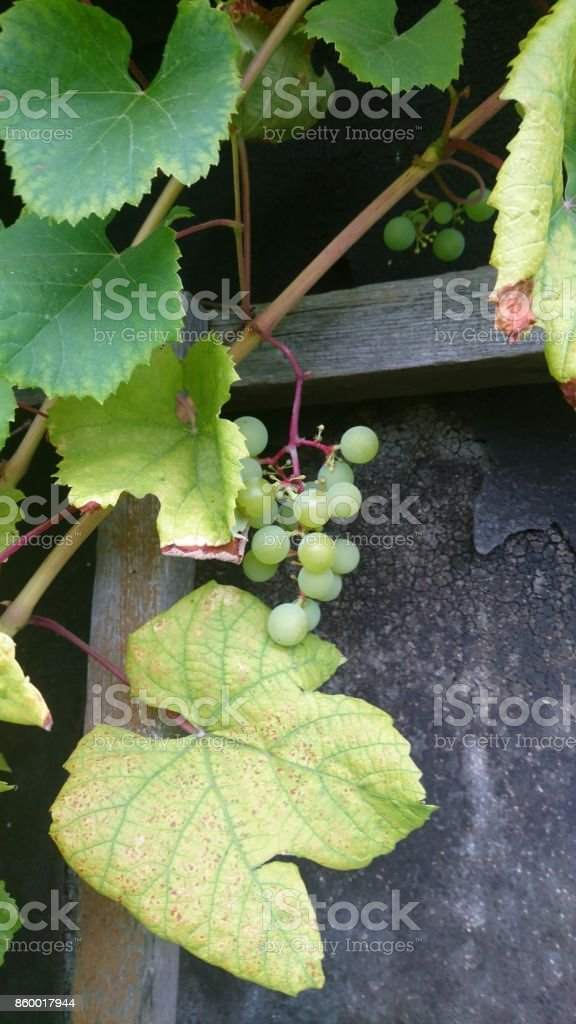 Grapes near old house stock photo