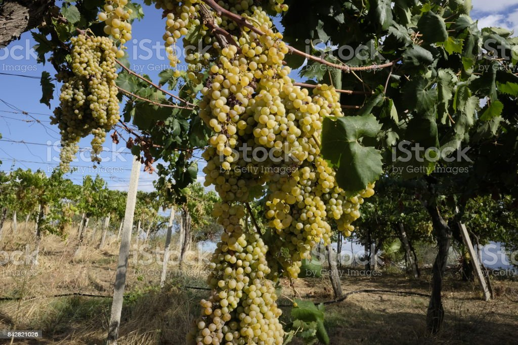 grapes of white grapes on the vine stock photo